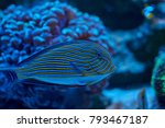 Small photo of Acanthuridae from surgeonfishes family behind coral in aquarium