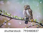 owl in beautiful forest. pygmy... | Shutterstock . vector #793480837