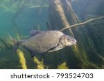 underwater photography of carp... | Shutterstock . vector #793524703