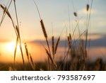 nature grass flower in sunset...   Shutterstock . vector #793587697