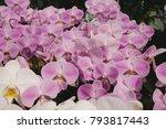 beautiful orchid flowers in... | Shutterstock . vector #793817443