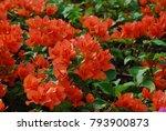 Bougainvillea Perennial Bush...
