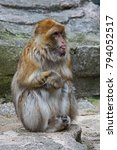 Close Up Of A Barbary Macaque