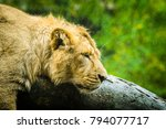 female lion trying to sleep on... | Shutterstock . vector #794077717