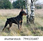 Small photo of German Pinscher standing on a autumn backgraund
