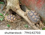 african spurred tortoise at... | Shutterstock . vector #794142703