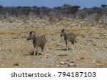 burchell's zebra in etosha... | Shutterstock . vector #794187103