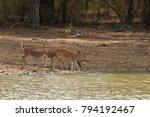 axis deer in yala national park ... | Shutterstock . vector #794192467
