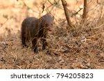 indian mongoose in yala... | Shutterstock . vector #794205823