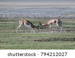 male impalas playing | Shutterstock . vector #794212027