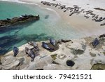 A Large Group Of Harbor Seals...