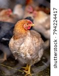 chickens on the farm. toned ...   Shutterstock . vector #794224417