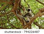 southern hanuman langur in yala ... | Shutterstock . vector #794226487