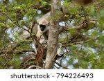 southern hanuman langur in yala ... | Shutterstock . vector #794226493
