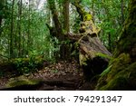 A big fallen tree trunk with moss in the middle of forest. A tree trunk fell down in the forest.