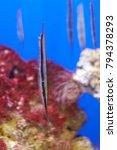 Small photo of unique head-down tail-up aeoliscus strigatus or razorfish
