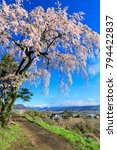 pink weeping cherry tree and... | Shutterstock . vector #794422837