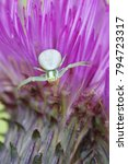 Small photo of White crab spider, Misumena vatia, and marsh thistle, Cirsium palustre