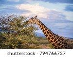 male giraffe eating acacia... | Shutterstock . vector #794766727