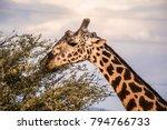 male giraffe eating acacia... | Shutterstock . vector #794766733