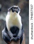diana monkey portrait   Shutterstock . vector #794857537