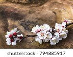blooming apricot branch in... | Shutterstock . vector #794885917