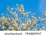 blooming apricot branch in... | Shutterstock . vector #794885947