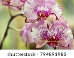 phalaenopsis is an orchid one... | Shutterstock . vector #794891983