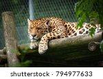 Captive Jaguar Rests On A...
