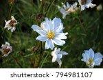 cosmos bipinnatus flower is a... | Shutterstock . vector #794981107