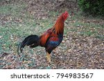 a gamecock or fighting cock ... | Shutterstock . vector #794983567