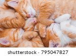 Stock photo a lot of small sleeping red kittens sleep in a heap nestle to each other in a cozy bed the concept 795047827