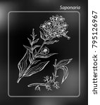 common soapwort  saponaria... | Shutterstock .eps vector #795126967