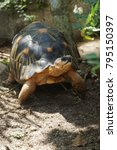 portrait of radiated tortoise... | Shutterstock . vector #795150397