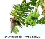 green banana fruit tree nature   Shutterstock . vector #795155527