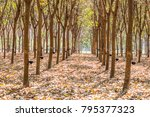 tapping latex rubber tree ... | Shutterstock . vector #795377323