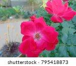 Closeup Of A Pink Desert Rose...