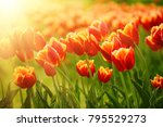 spring sunny meadow with orange ... | Shutterstock . vector #795529273