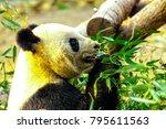 giant panda china. panda eats... | Shutterstock . vector #795611563