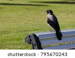 Hooded Crow  Corvus Cornix ...