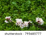 blooming apricot branch in... | Shutterstock . vector #795685777