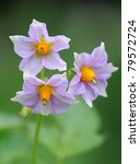 Flowers Of Potato