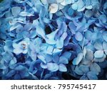 close up of hydrangea flowers   Shutterstock . vector #795745417