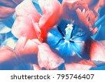 macro shot of blooming red... | Shutterstock . vector #795746407