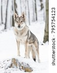Small photo of vertical photo of wolf standning on a stomp in the forest covered with snow