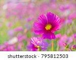cosmos flower in the garden   Shutterstock . vector #795812503