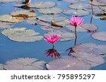 beautiful pink lotus   Shutterstock . vector #795895297