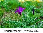 iris pumila blue purple flower...   Shutterstock . vector #795967933