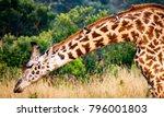 grazing masai or kilimanjaro...   Shutterstock . vector #796001803
