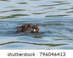 German Spaniel   Hunting Dog  ...